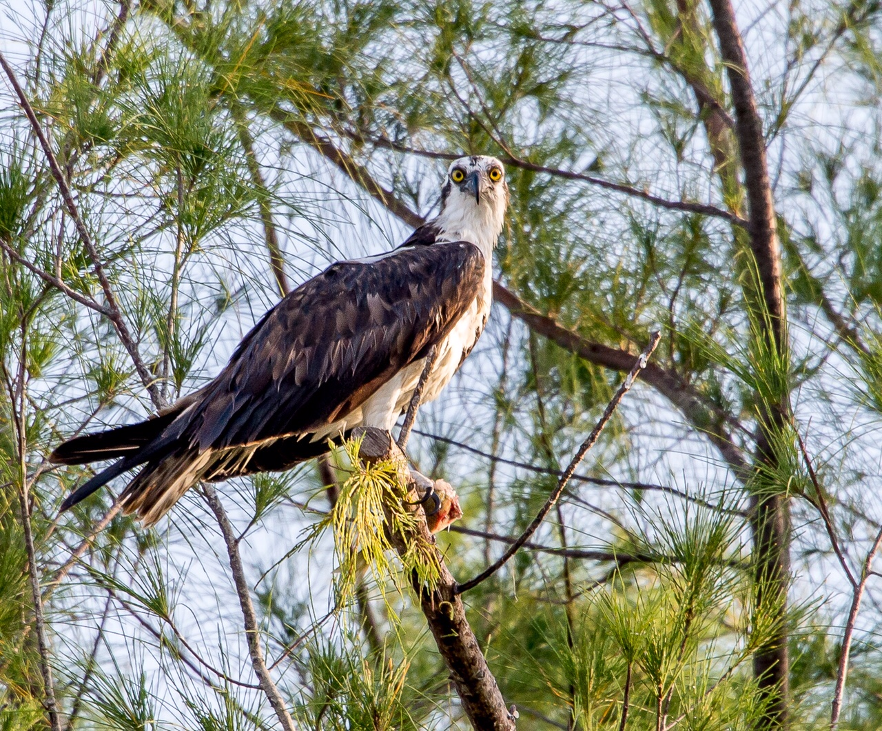 Palm Island Osprey