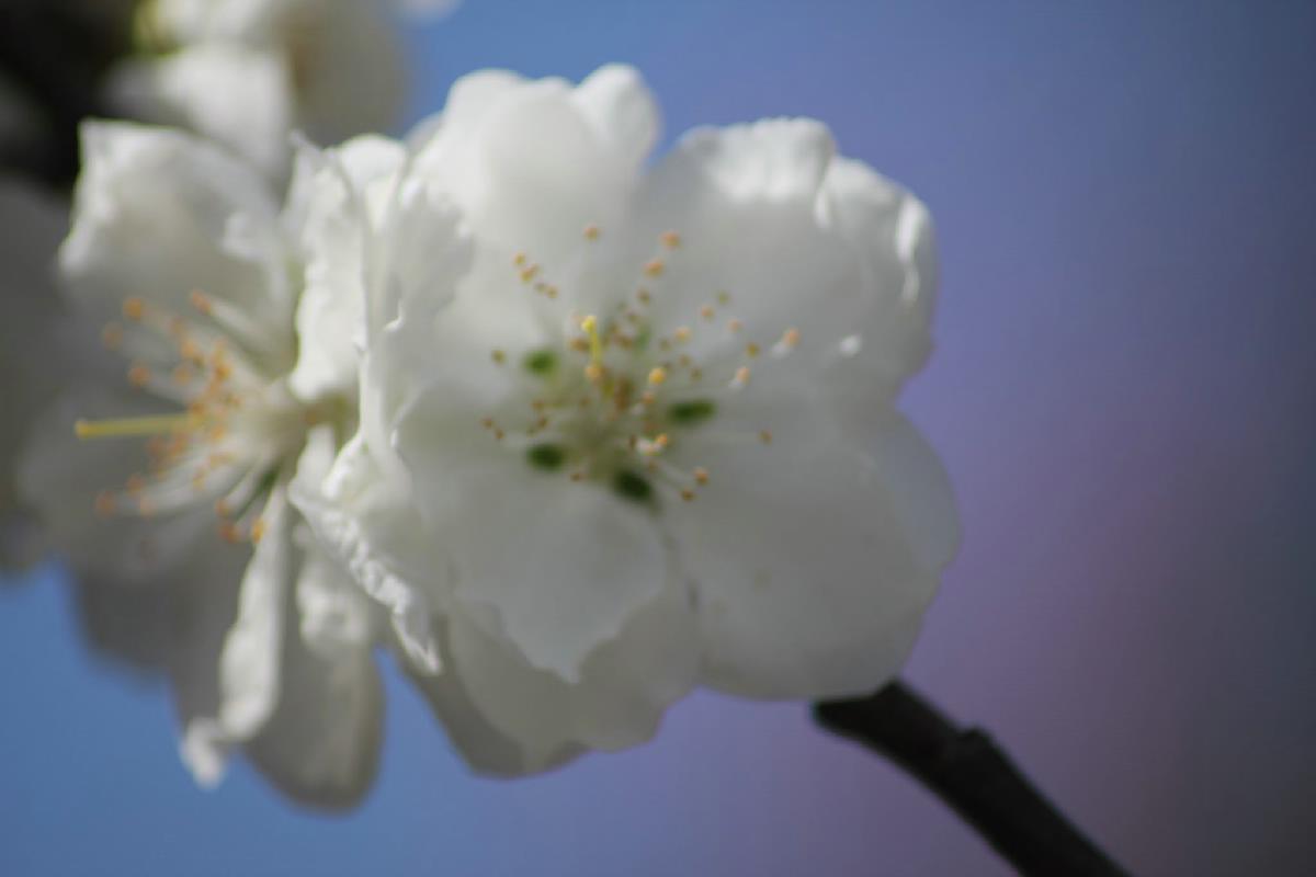 041 - Japanese blossom - Eric Pignolo.JPG