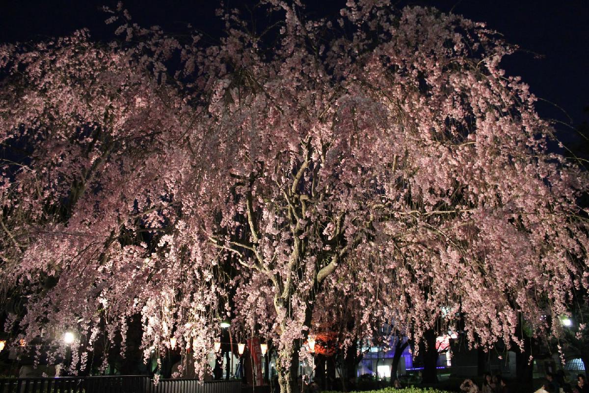 145 - Japanese blossom - Eric Pignolo.JPG