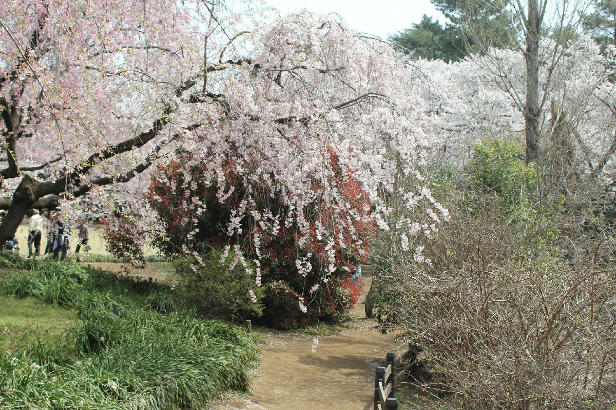110 - Japanese blossom - Eric Pignolo.JPG