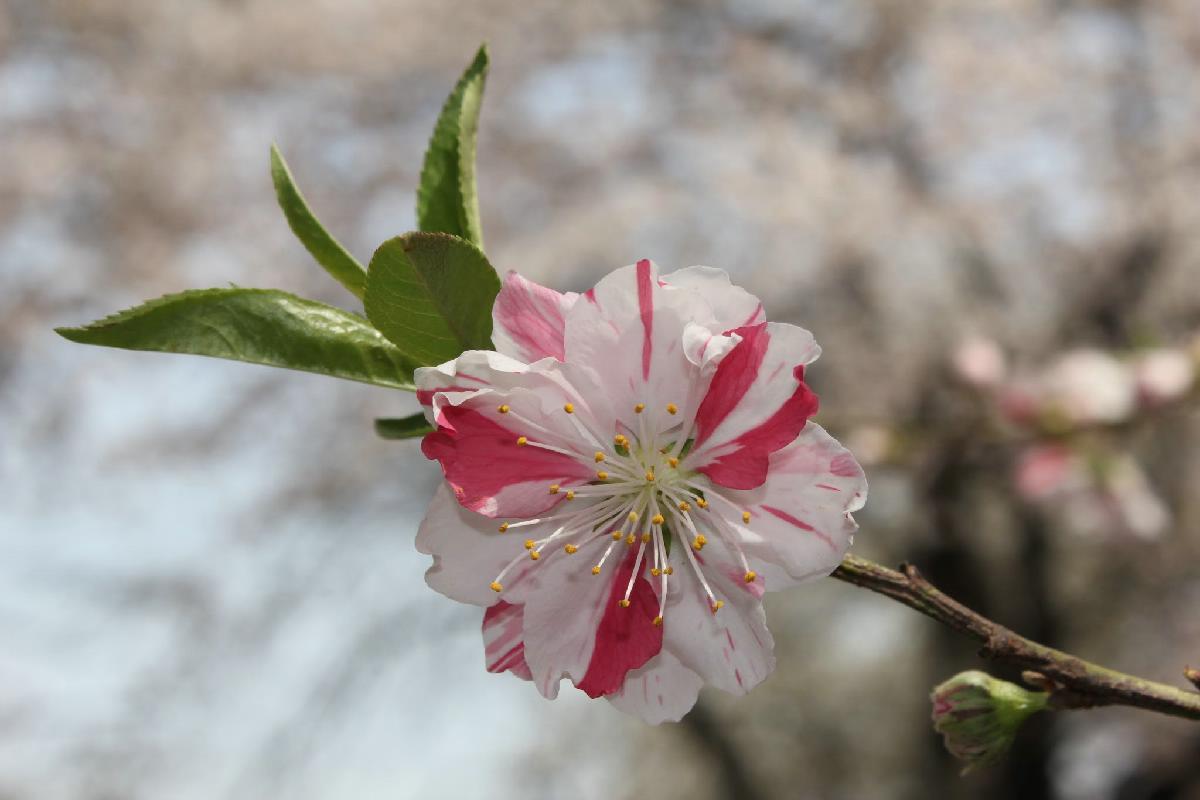 108 - Japanese blossom - Eric Pignolo.JPG