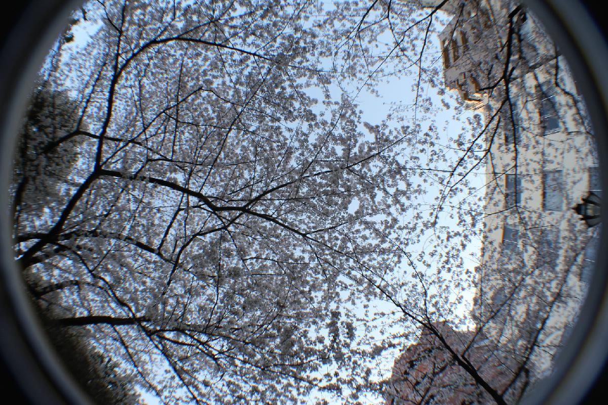 062 - Japanese blossom - Eric Pignolo.JPG