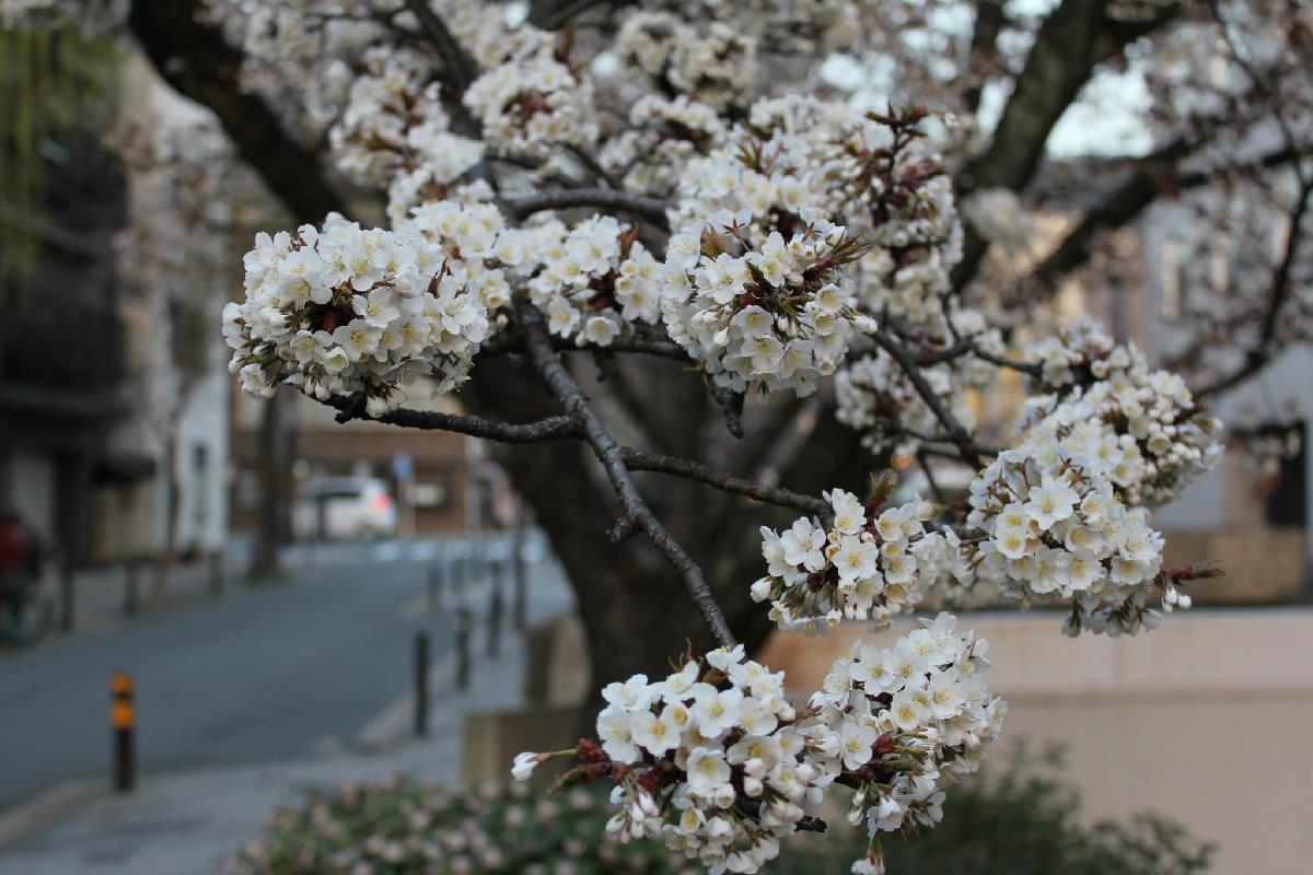 024 - Japanese blossom - Eric Pignolo.JPG