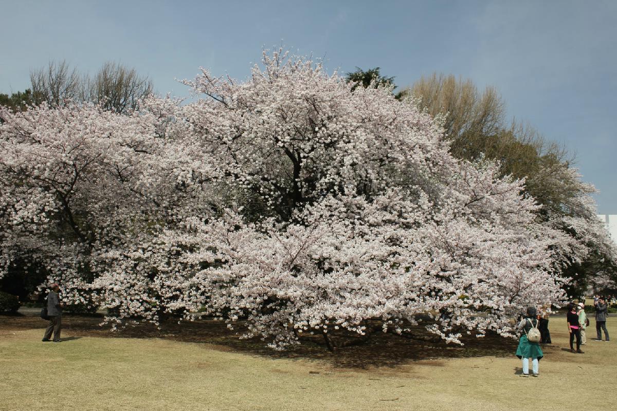 102 - Japanese blossom - Eric Pignolo.JPG