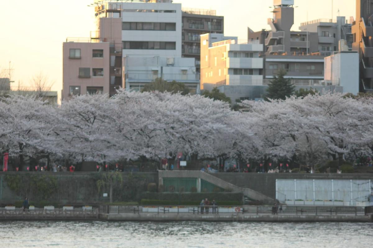 068 - Japanese blossom - Eric Pignolo.JPG