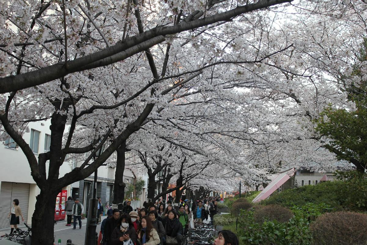 061 - Japanese blossom - Eric Pignolo.JPG