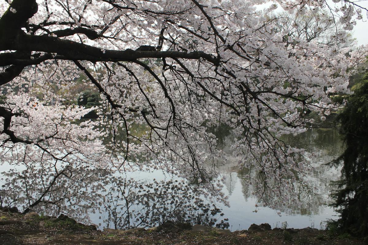 104 - Japanese blossom - Eric Pignolo.JPG