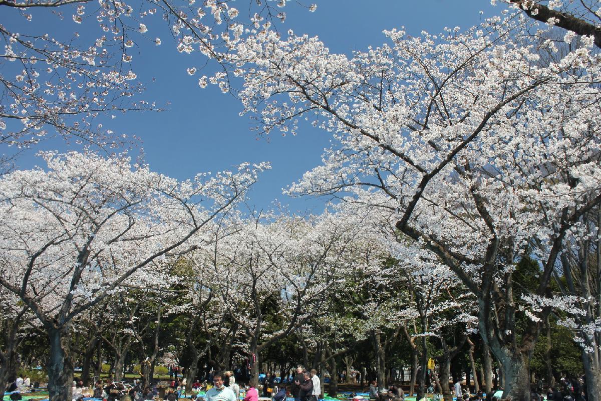 055 - Japanese blossom - Eric Pignolo.JPG