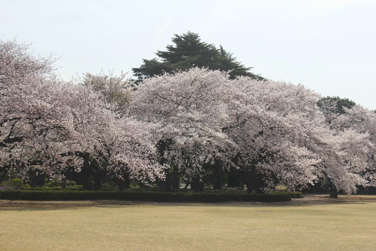 100 - Japanese blossom - Eric Pignolo.JPG
