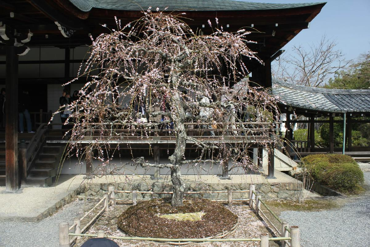 012 - Japanese blossom - Eric Pignolo.JPG