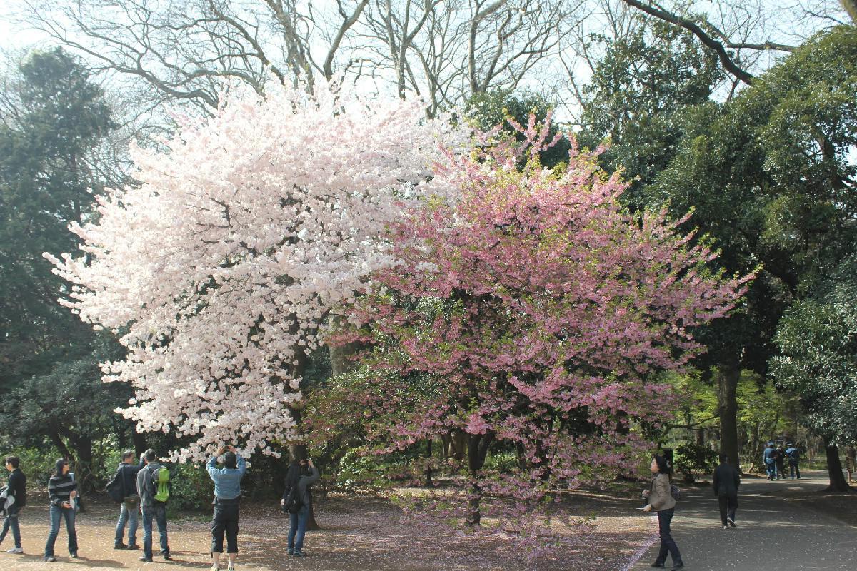 099 - Japanese blossom - Eric Pignolo.JPG