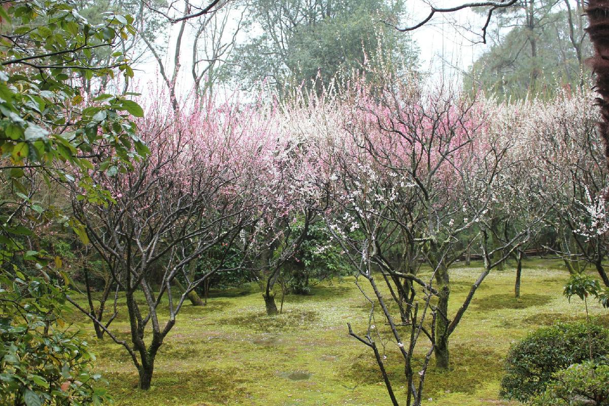 032 - Japanese blossom - Eric Pignolo.JPG
