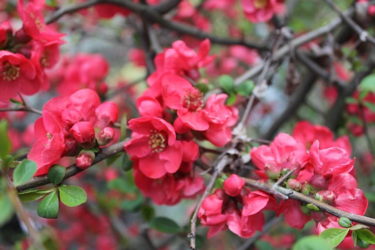 005 - Japanese blossom - Eric Pignolo.JPG