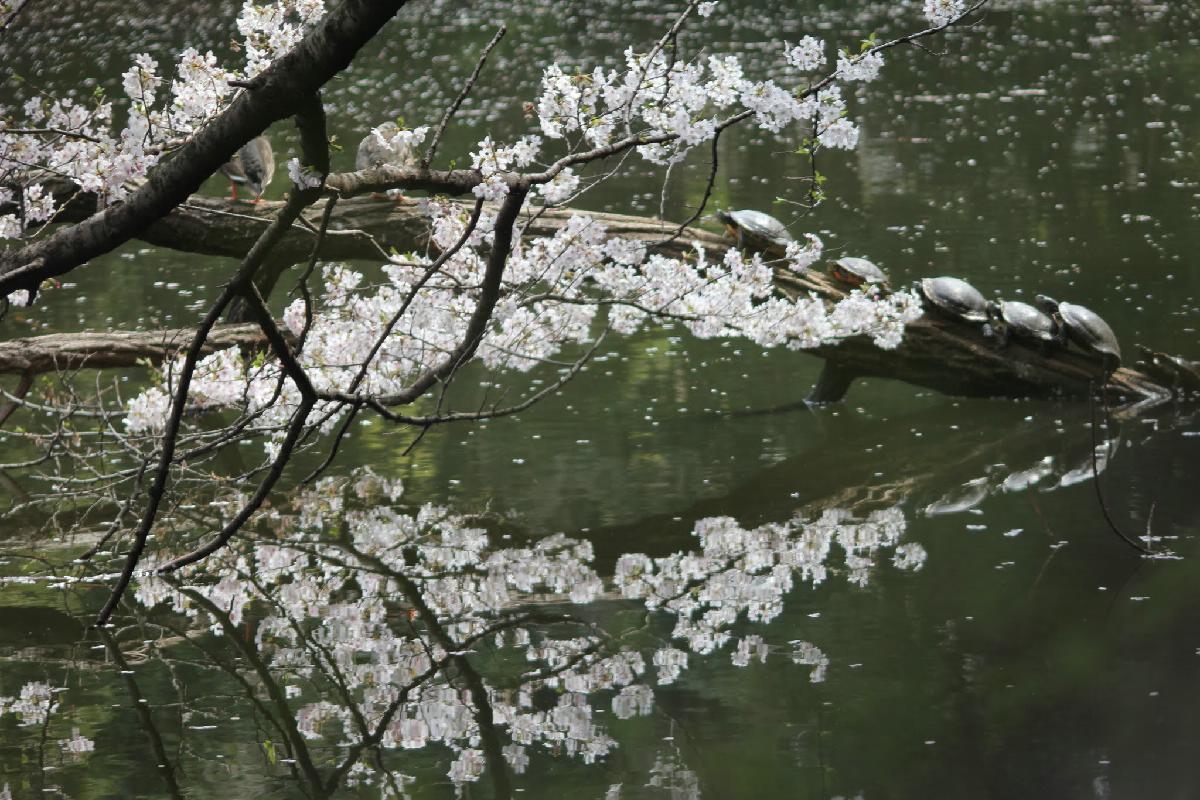 111 - Japanese blossom - Eric Pignolo.JPG