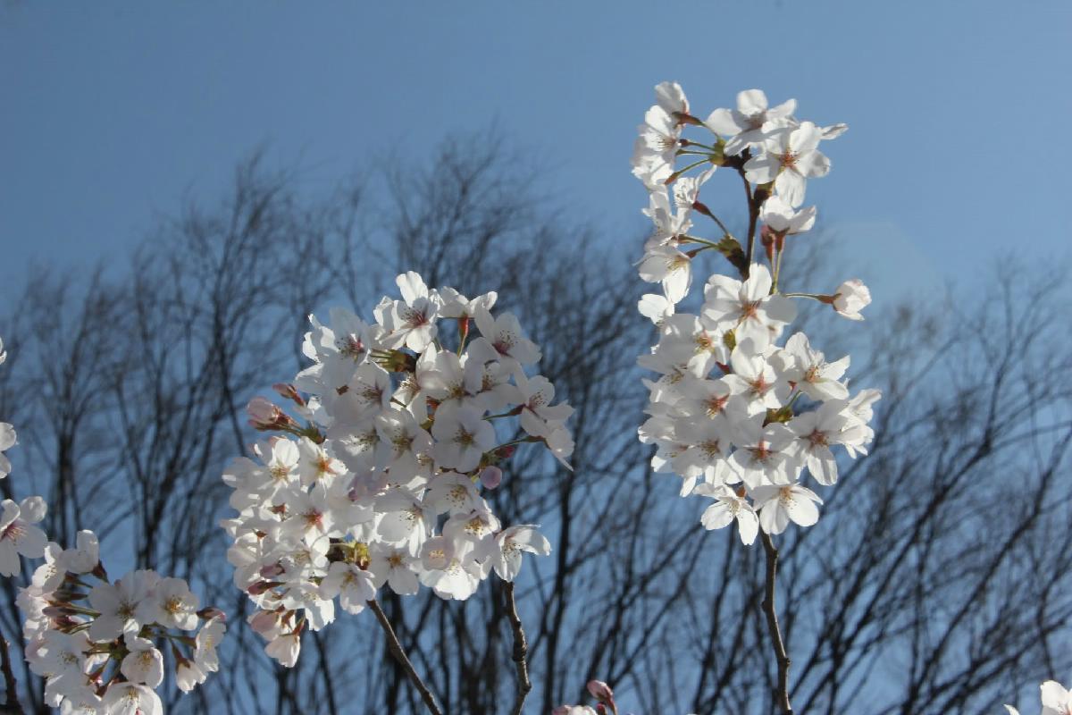 057 - Japanese blossom - Eric Pignolo.JPG