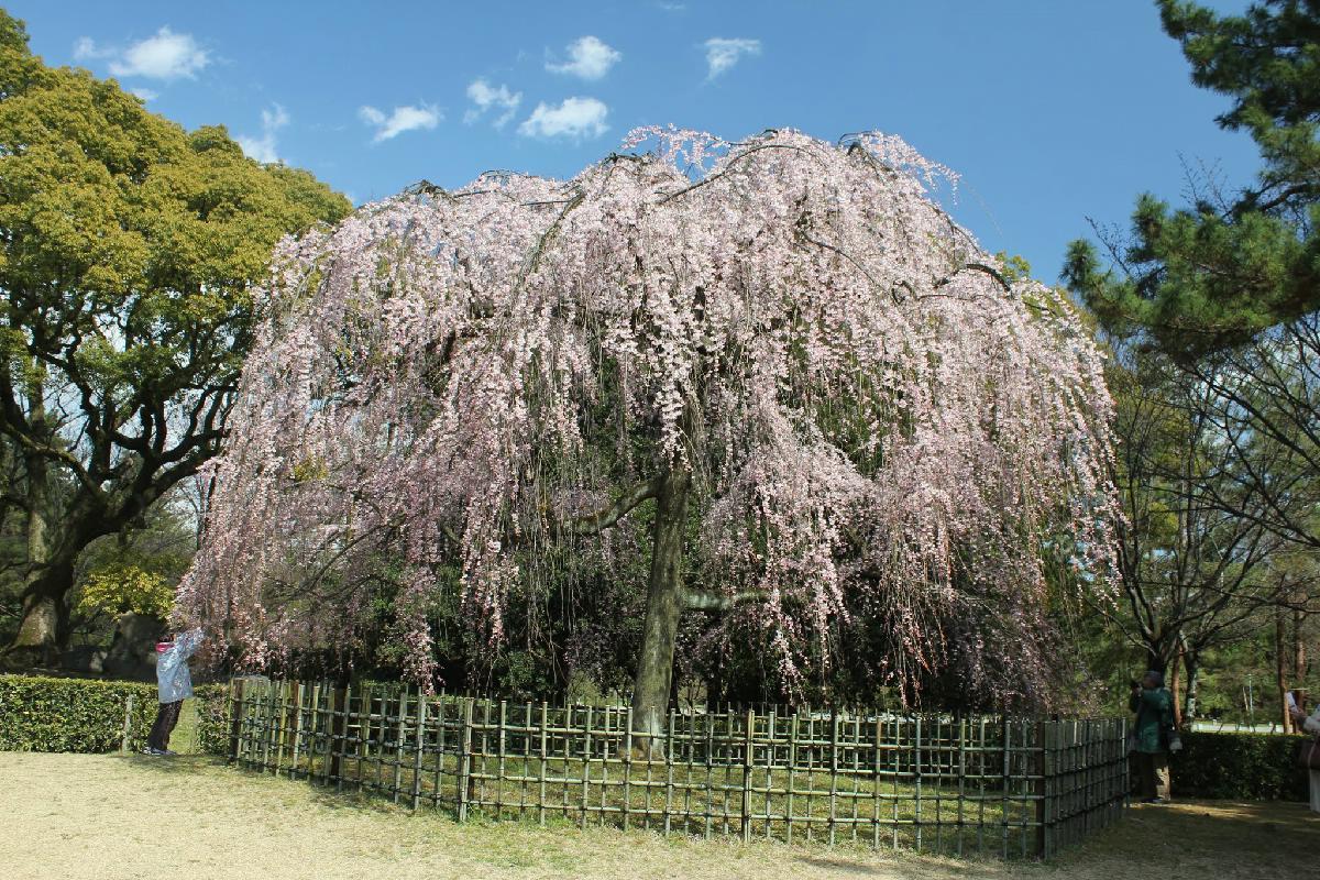 044 - Japanese blossom - Eric Pignolo.JPG