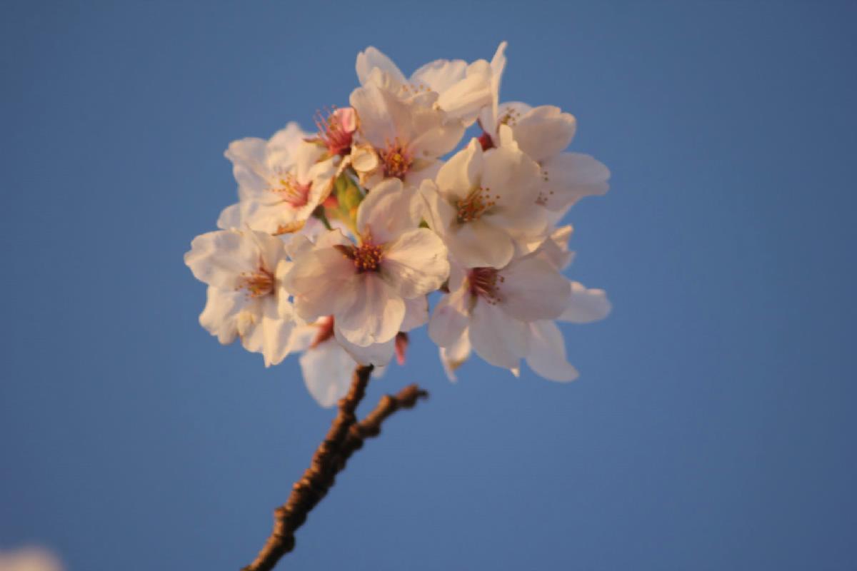 067 - Japanese blossom - Eric Pignolo.JPG