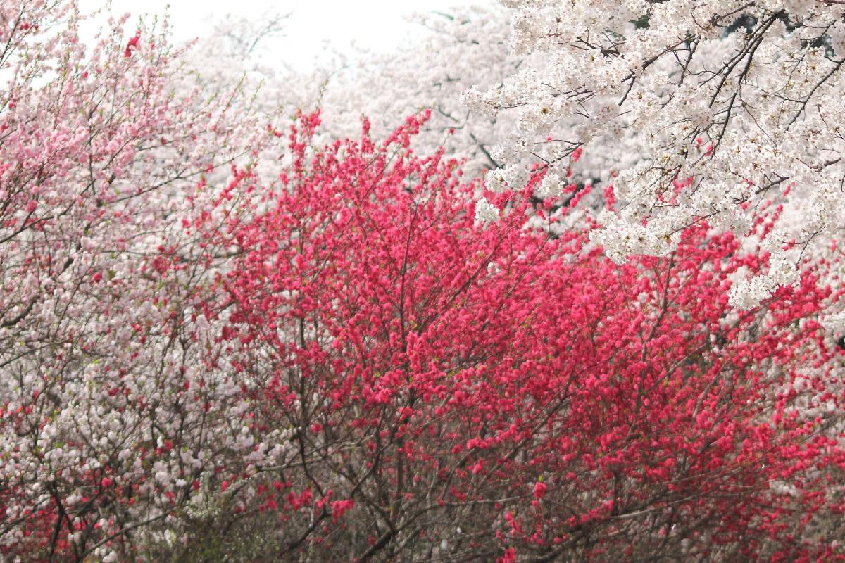 107 - Japanese blossom - Eric Pignolo.JPG