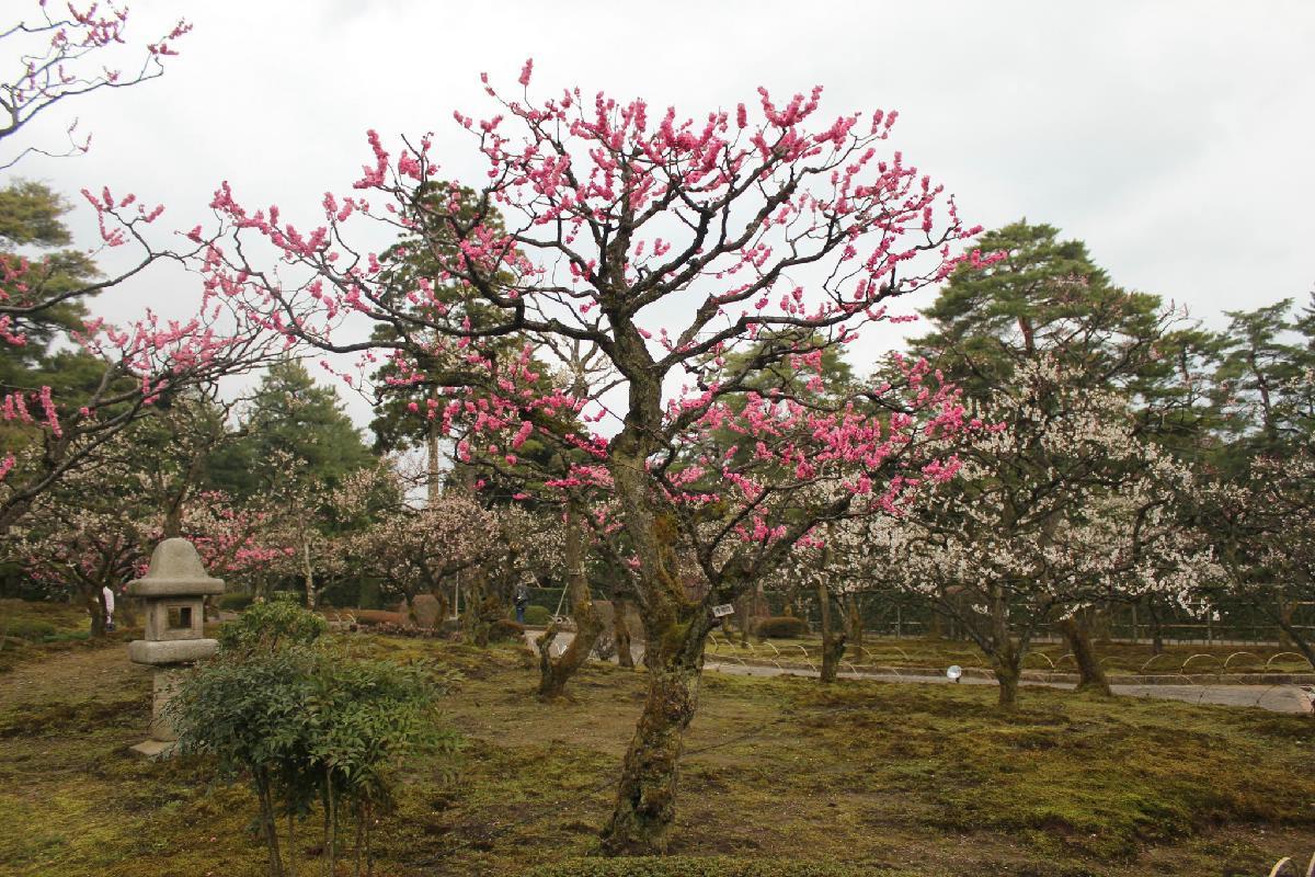 051 - Japanese blossom - Eric Pignolo.JPG