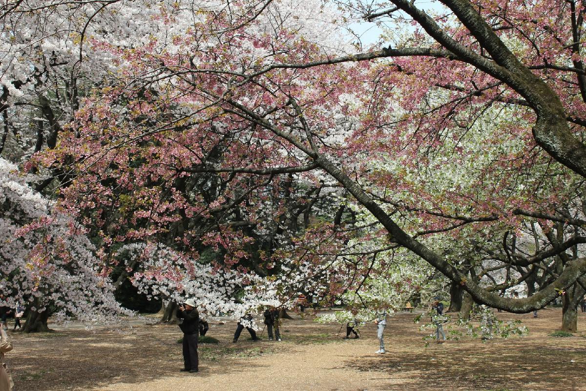 109 - Japanese blossom - Eric Pignolo.JPG