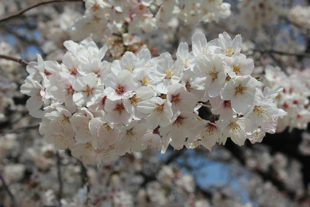 089 - Japanese blossom - Eric Pignolo.JPG
