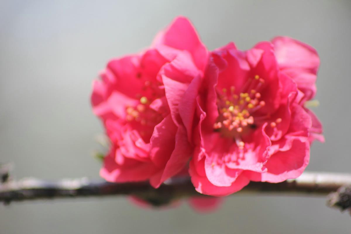 042 - Japanese blossom - Eric Pignolo.JPG