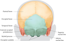 Posterior View