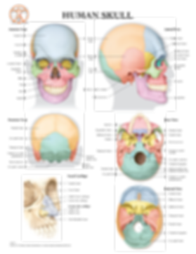 10-BS111_The Human Skull_LR-01.png