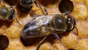 Le faux bourdon (abeille mâle)