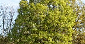 L'érable champêtre
