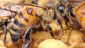 Le Varroa destructor (Varroa Jacobsoni)