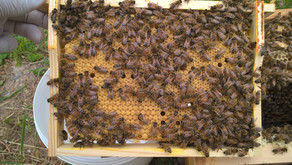 Découvrez comment une abeille devient reine ?