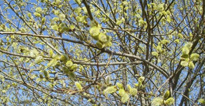 Le saule Marsault (Salix capraea) de la famille des salicacées.