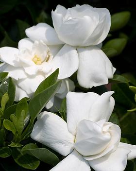 gardenia jasmine.png