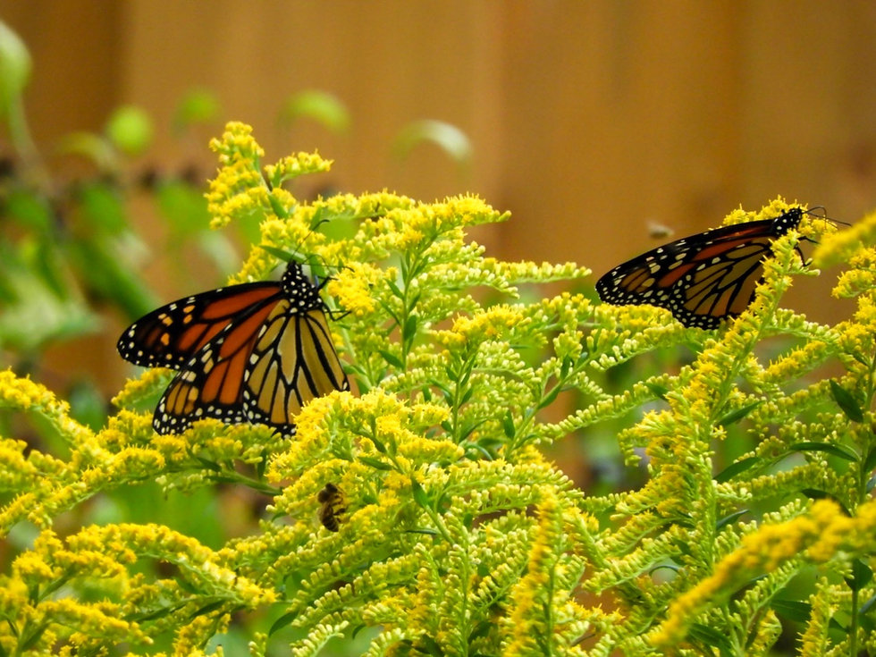 Monarch goldenrod.jpeg