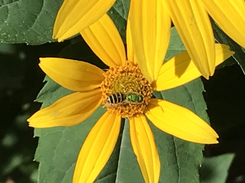 Sweet Oxeye with Green Sweat Bee