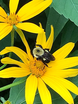 sweet ox eye bee.JPG