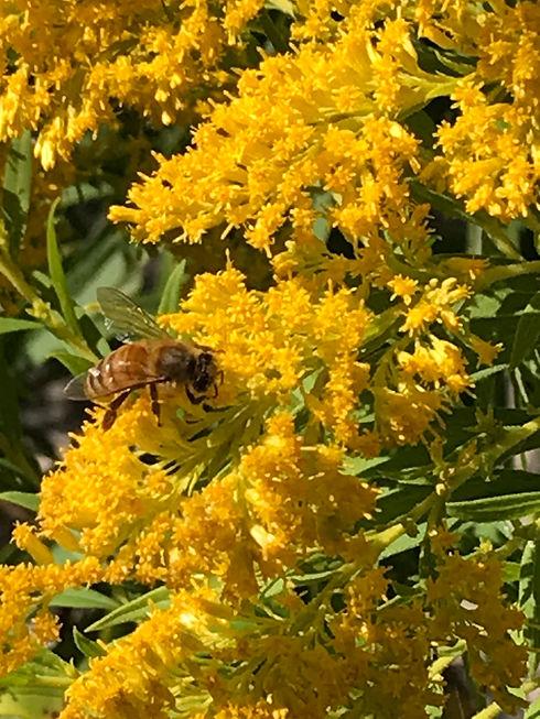 Bee Goldenrod wings.JPG