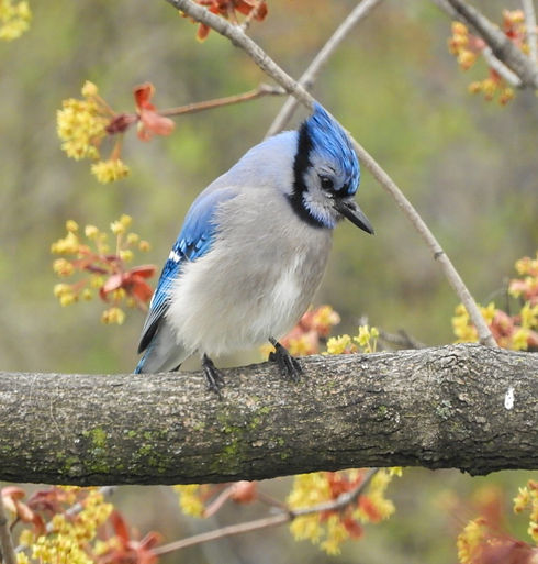 Blue%20Jay_edited.jpg