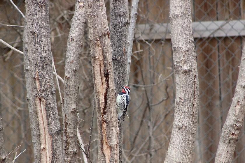 Woodpecker RH.jpeg