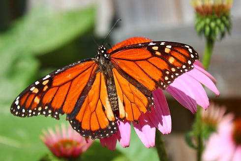 Monarch big.jpeg