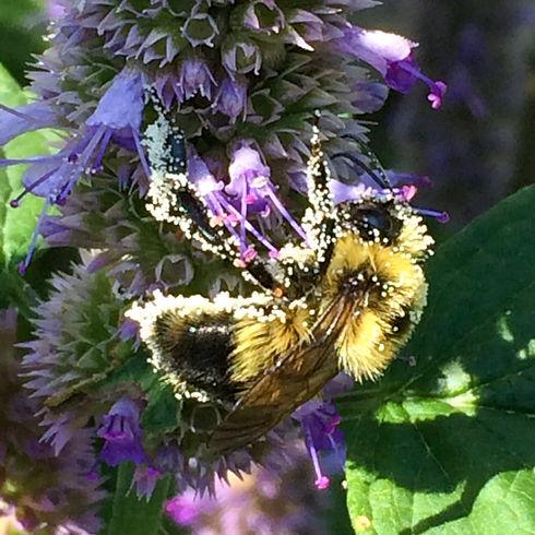bee pollen hyssop.jpeg