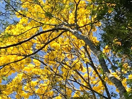 Floradas dos Ipês Amarelos
