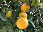 Pomar - tangerina