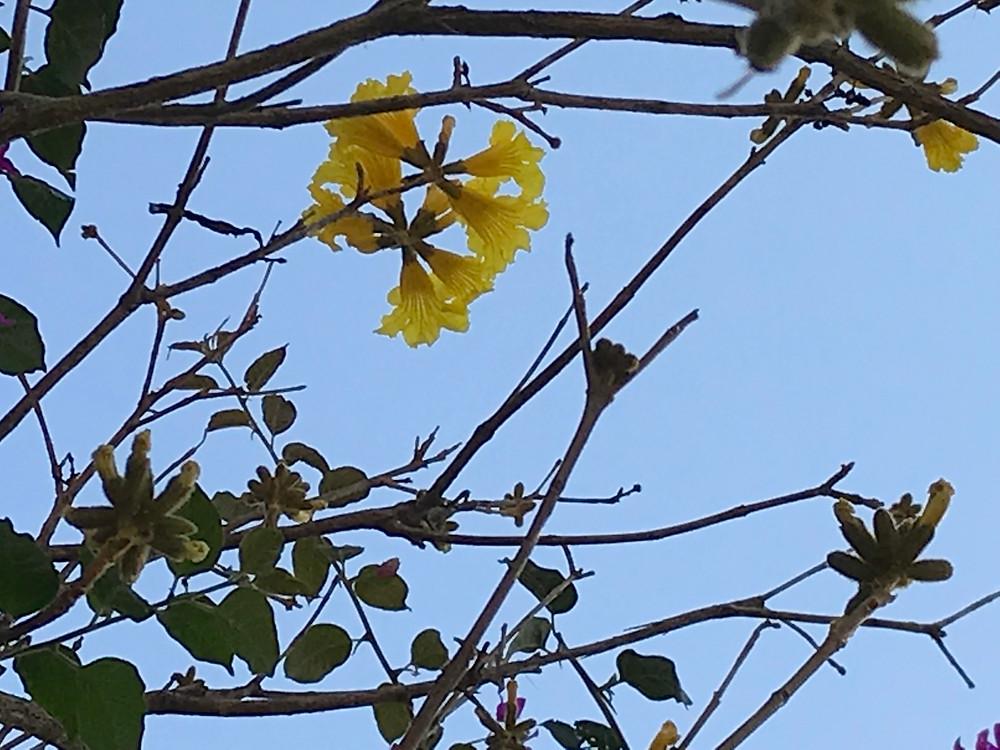 Flor de ipê amarelo