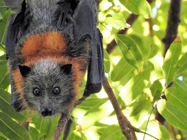 Acerodon jubatus - raposa voadora