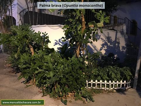Palma brava