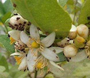 Pugões atacando flores de limão galego.
