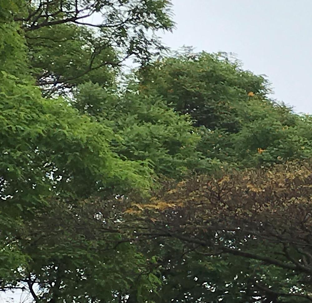 Início da florada das Tipuanas