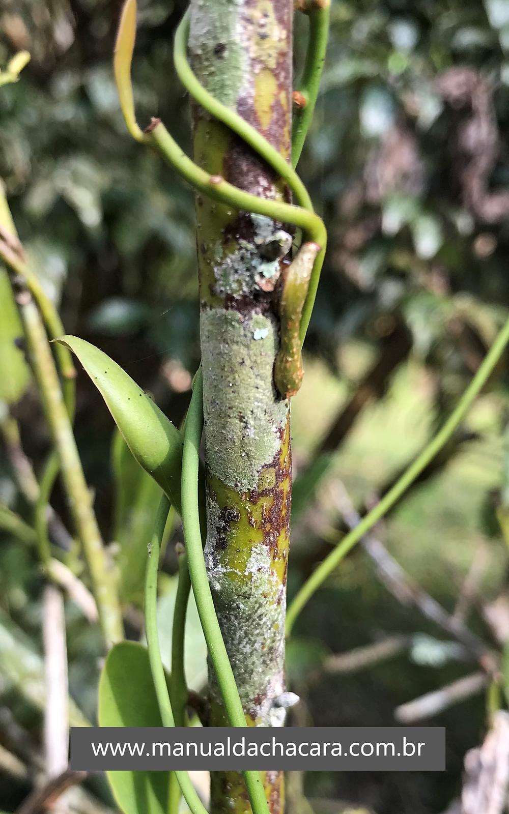 A foto mostra um caule de louro (aquele mesmo cujas folhas são utilizadas no feijão) com uma trepadeira nele enrolada. Essa trepadeira é uma erva de passarinho.